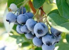Afinele sunt surse de antioxidanti